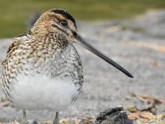 Common Snipe (Gallinago gallinago) (eerokiuru) Tags: commonsnipe gallinagogallinago bekassine tikutaja bird p900 nikoncoolpixp900