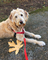 Afternoon Walk (LBofcourse) Tags: snickers fall autumn labradoodle