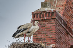 Storks nesting on a bell tower (Ciconia ciconia)- 'Z' for Zoom (hunt.keith27) Tags: longlegs beak sigma canon spain bigbird baby stork bird storks large longlegged longnecked wading birds with long stout bills ciconiaciconia animal feathers tower nest nesting sticks