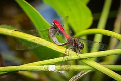 Fiery Skimmers (strictfunctor) Tags: dragonfly fieryskimmer insecta odonata orthetrumvillosovittatum insect queensland australia au