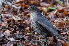 Sperber / Accipiter nisus / sparrowhawk (Bernd Götz) Tags: sperber sparrowhawk accipiternisus sonya6500 sonyfe100400f4556gmoss nymphenburgerparkmünchen