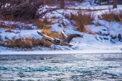 Wing in wing (dan.clayton) Tags: inglewoodbirdsanctuary baldeagle canadagoose canada calgary bowriver