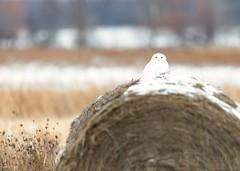 Snowy Owl (T L Sepkovic) Tags: snowyowl owl raptor birdsofprey arctic bird wildlife wildlifephotography teamcanon canon 5dmkiv lenscoat promediagear creativewildlife wildlifelandscape