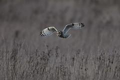 Moth Like Flight (Chris Bainbridge1) Tags: asioflammeus shortearedowl in flight sunset