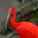 scarlet ibis 4