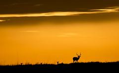 African sunset (paolo_barbarini) Tags: africa kenya gazelle gazzella silhouette sunset tramonto colors colori orange masai mara wildlife nature