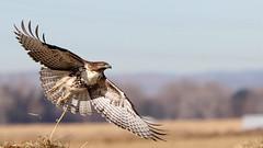 Red Tail Hawk (Bill G Moore) Tags: redtailhawk birdofprey naturephotography raptor wild wildlife canon colorado november