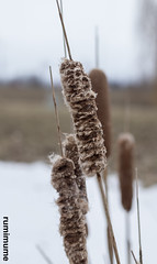 Winter plants (rumimume) Tags: rumimume 2018 niagara ontario canada photo canon 80d snow outdoor day cold winter nature plant afternoon