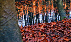beech forest in autumn, Central part of Japan (gudonjin) Tags: flickrtravelaward autumn leaves lake beech forest colored