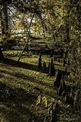 2018 Barnfull 6D (1)-Edit (Scott Sanford Photography) Tags: 6d canon cypress ef50mmf14 eos lake naturalbeauty naturallight nature outdoor texas topazlabs water swamp trees martindiesjrstatepark