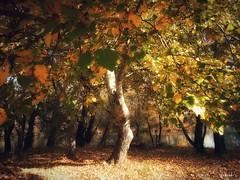 Tokaj (viktórianagynépetró1) Tags: autumncolors autumntime autumn tree trees