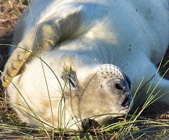 Seal Pup (littlestschnauzer) Tags: seal pup baby animal nature donna nook reserve lincolnshire wildlife trust 2018 november autumn white young youngster face whiskers grey tourist attraction visitor visit cute adorable