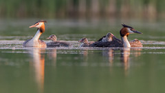 Great crested grebe (JS_71) Tags: nature wildlife nikon photography outdoor 500mm bird new see natur pose moment outside animal flickr colour poland sunshine beak feather