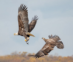 The Chase. (tresed47) Tags: 2018 201811nov 20181114conowingobirds birds canon7dmkii conowingo content eagle fall flightshot folder general maryland november peterscamera petersphotos places season takenby us ngc