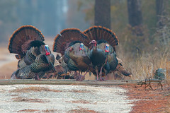 Look at me... No, look at me! (Michael Rickard) Tags: turkeys wildturkeys assateague assateagueisland nationalseashore findyourpark wildlife maryland