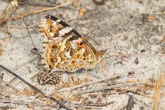 Butterfly (Vanessa kershawi) (jgruber111) Tags: vanessakershawi vanessa nymphalinae nymphalidae papilionoidea lepidoptera insect macro entomology butterfly australianpaintedlady