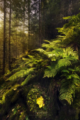 Dreamlike Timberline (Manuel.Martin_72) Tags: glarus swissalps switzerland autumncolors drama enchanting fairytale lightdrama magic majestic mysterious fern forest grass green moss mountainslope mountains plants rocks stones trees valley woods morning sunrise wbpa ch
