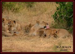FEMALE LIONESS (Panthera leo) WITH CUB......MASAI MARA......SEPT 2018. (M Z Malik) Tags: nikon d800e 400mmf28gedvr kenya africa safari wildlife masaimara keekoroklodge exoticafricanwildlife exoticafricancats flickrbigcats lioness lioncubs pantheraleo ngc np npc