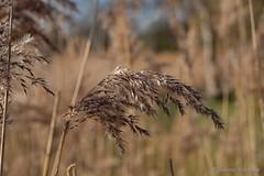 Winterlich (Sockenhummel) Tags: britzergarten gräser park gras wedel winter herbst natur fuji xt10