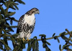red-tailed Hawk (mikestreicher) Tags: hawk redtailedhawk
