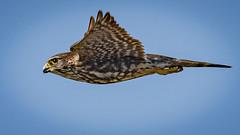 In Flight Merlin (Falco columbarius), Haiti (MikeM_1201) Tags: merlin bird wildlife nature bif flying haiti d500 raptor bluesky sky