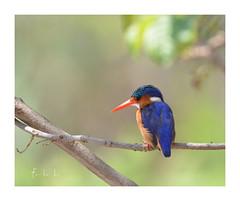 Martin pêcheur huppé (FLL087) Tags: bird eau oiseau southafrica afriquedusud nature wildlife martinpêcheur