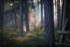 forest morning (Hans Zitzler) Tags: cristmas green forest hunter pine watchtower mist dawn oak color bavaria oberpfalz