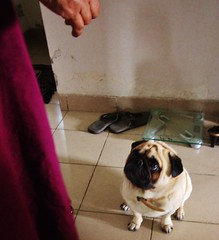 It wasn't me (Jaflong Productions) Tags: pet mammal pug puppy puppies pugs puglicious pugalicious pup pups dog dogs doggy doggies breed canine k9 furball fur mansbestfriend dogeatdogworld doggydogworld blog petblog animal animalblog vscopug 2017 newyear portrait love boy fat fatso fatty stare gaze indoor mates mate friends friend winter travel travelblog travelphotography travelgram travelling vsco vscocam vscogood vscophile vscogrid instadog instalike photo shutterstock instagram flickr