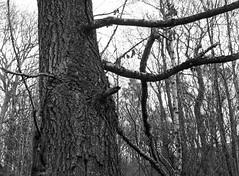 Lower Guards Wood, Mamiya 645E, Tmax 400 in Ultrafin (Jonathan Carr) Tags: trees woodland landscape rural northeast blackandwhite monochrome mediumformat 6x45 mamiya645e
