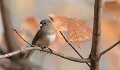 Junco ardoisé // Dark-eyed Junco (Keztik) Tags: junco ardoisé darkeyed hyemalis oiseau bird animal wildlife nature nikon d7500