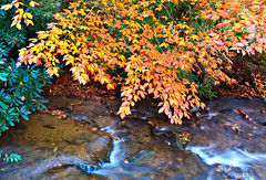American Chestnut Branch over Creek, near Smokemont, Great Smoky (klauslang99) Tags: america americanchestnut appalachianmountains autumn beautynature bright bush color colorful colour creek daytime deciduoustrees exterior fallseason foliage forest greatsmokymountainsnationalpark idyllic leaves mountains nature nobody northamerica outdoor outdoors outside picturesque plant plants rapids rhododendron river rocks scenic scenics season shrub southeastusa splashing tennessee trail trails tranquilscene unitedstates usa vegetation woods klauslang