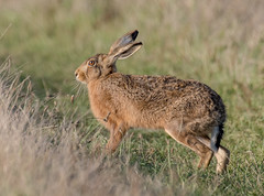 DSC7055  Brown Hare.. (Jeff Lack Wildlife&Nature) Tags: brownhare hares hare animal animals wildlife wildlifephotography jefflackphotography farmland fields crops heathland hedgerows heathlands heaths moorland meadows moors countryside norfolk nature