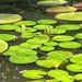 Lily pond, Singapore botanical Garden