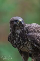 Alertness! (Jambo53 (catching up)) Tags: commonbuzzard buizerd birdofprey roofvogel raptor buteobuteo nikond800 nikon500f4 mäusebussard