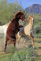 Looking pretty mad (littlebiddle) Tags: horses mamal animal wildlife nature saltriver tontonationalnationalforest