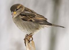 _A992823 (mbisgrove) Tags: a99m2 a99ii sparrow bird