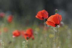 Poppy (johco266) Tags: papaver papaveraceae klaproos inflandersfields poppy poppies macro macrophotography nikon wildflower wildflowers abruzzo italy flower alittlebeauty coth coth5
