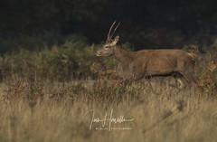 Red Deer Pricket (Ian howells wildlife photography) Tags: reddeer ianhowells ianhowellswildlifephotography nature naturephotography nationalgeographic canon wildlife wildlifephotography wild deer