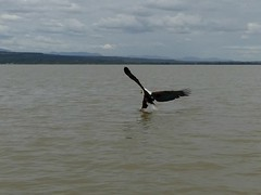 Fish fish eagle (16) (Linda DV) Tags: lindadevolder africa 2018 lumix travel geotagged nature kenya fauna baringo lake