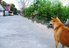 ,, Single File Only ,, (Jon in Thailand) Tags: dog k9 mama jungle concreteroad monkeys primates apes wildlife red yellow blue green themonkeytemple templedogs buddha swamp nikon d300 nikkor 175528 littledoglaughedstories