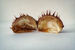 protection 01 (visualparasite) Tags: shell carapace autumn colour spikes conker protection closeup nature