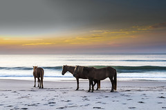 Horses in Assateague by Nathaniel Gonzales (Maryland DNR) Tags: 2018 photocontest wildlife mammals ponies horses assateague shore ocean beach sunset