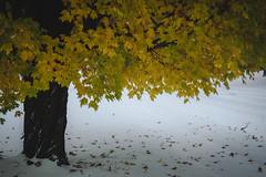 Fall Snowfall (T.M.Peto) Tags: outdoor outdoors outdoorphotography nikonoutdoors nikon nikond3300 nikonphotography adobelightroom lightroom outside god'screation wanderlust yardley buckscounty pennsylvania pennsylvaniaisbeautiful fall autumn fallfoliage snow snowy snowfall fallsnowfall leaves seasons