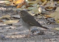 Hermit Thrush, Catharus guttatus (Dave Beaudette) Tags: birds hermitthrush catharusguttatus sweetwaterwetlands tucson pimacounty arizona