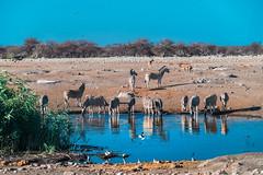 DSC00191-2 (philliphalper) Tags: namutoni etosha nimabia zebra