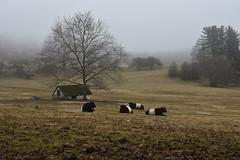 Belty Buddies 8.365 (lovbrkthru) Tags: 365 belties beltedgalloways cattle chestercounty