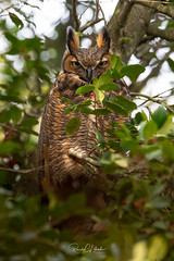 Great Horned Owl - Bubo virginianus | 2019 - 1 (RGL_Photography) Tags: birding birds birdsofprey birdwatching bubovirginianus familystrigidae greathornedowl mothernature nature nikonafs600mmf4gedvr nikond5 ornithology owls raptor strigiformes us unitedstates wildlife wildlifephotography ©2019rglphotography