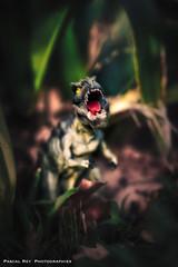 En hommage à Aaron & Laurent, un T.Rex de ma composition. (Pascal Rey Photographies) Tags: trex dinosaure dinosaur dino toys jouets areyoukidding rukidding jungle aurorahdr luminar2018 skylum pascalrey nikon d700 macro 60mm pascalreyphotographies photographiecontemporaine photos photographie photography photograffik photographienumérique photographiedigitale photographierurale photographiemézosoïque