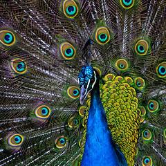Beauté  du paon (ichauvel) Tags: paon peacok oiseau bird animal faune fauna nature beautédelanature beautyofnature exterieur outside formatcarré multicolore plumage plumes plumesdepaon lisbonne lisboa lisbonn portugal europe westerneurope pattern graphismenaturel