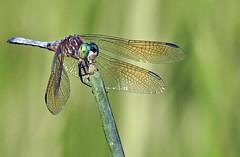 Dragonfly - Libellule (P9_DSCN9111-1PE-20180810) (Michel Sansfacon) Tags: dragonfly libellule nikoncoolpixp900 parcnationaldesîlesdeboucherville parcsquébec faune